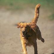 Golden retriever running. Summer. (PR)