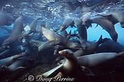 Galapagos sea lions, Zalophus californianus wollebaeki, juveniles playing in shallow cove, Champion Island, Galapagos Islands, Ecuador ( Eastern Pacific )