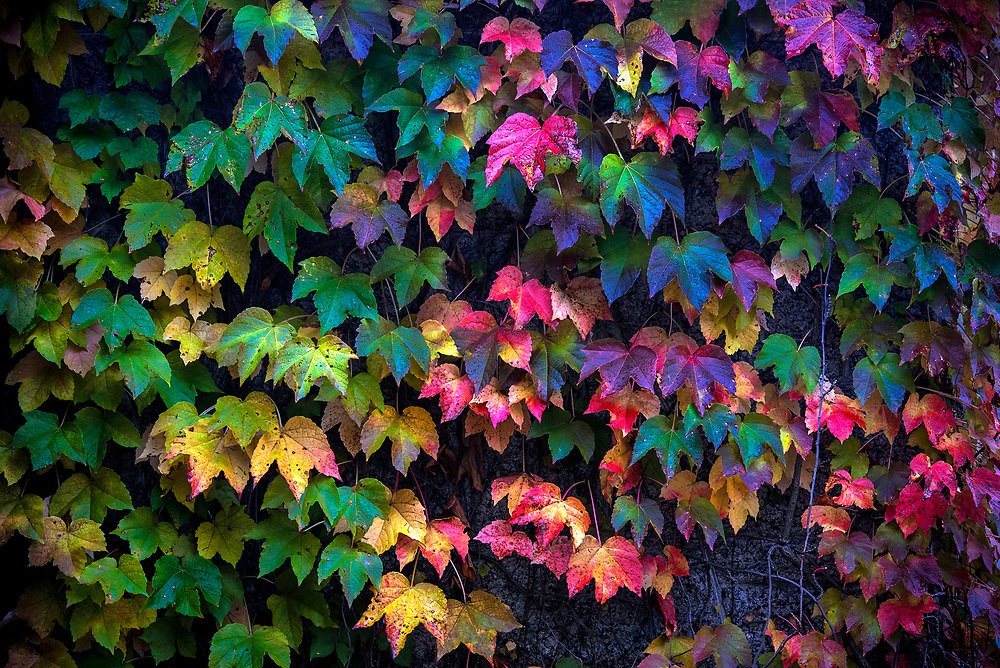 Colorful Boston Ivy detail..