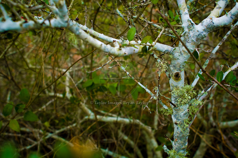 Tree with white bark growing in tangled thickets of maritime scrub in Pawleys Island, South Carolina