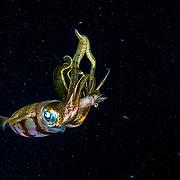 Caribbean reef squid (Sepioteuthis sepioidea) eating shrimp at night in The Bahamas.