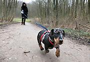 Nederland, Ubbergen, 18-2-2012Onze pup, puppy, een teckel, loop buiten aan de lijn.Foto: Flip Franssen/Hollandse Hoogte