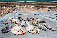 Fish drying in the sun as a staple diet, Vamizi Island, Mozambique