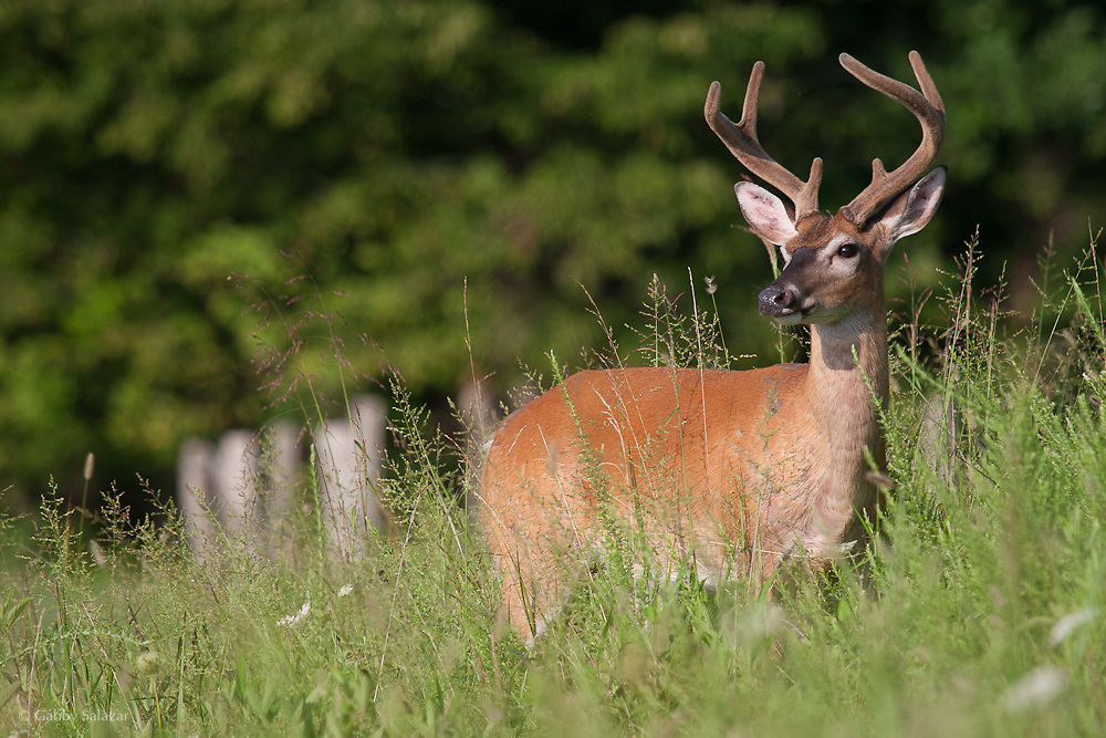 White-tailed deer, Cades Cove, Great Smoky Mountain National Park in Tennessee, USA.