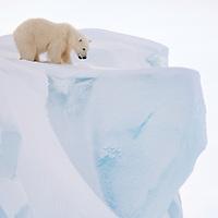 Polar bear on top of an iceberg on Baffin Island, Nunavut, Canada tentatively inspecting the edge.