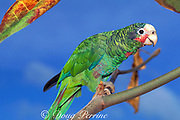 Grand Cayman parrot, <br /> Amazona leucocephala, caymanensis, <br /> an endemic subspecies of the Cuban parrot<br /> Grand Cayman, British West Indies