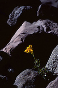 Yellow flower growing from rocks near El Volcan, Chile