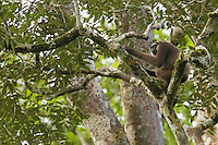 Bornean White-bearded Gibbon (Hylobates albibarbis) adult male.  Sitting on branch in canopy.