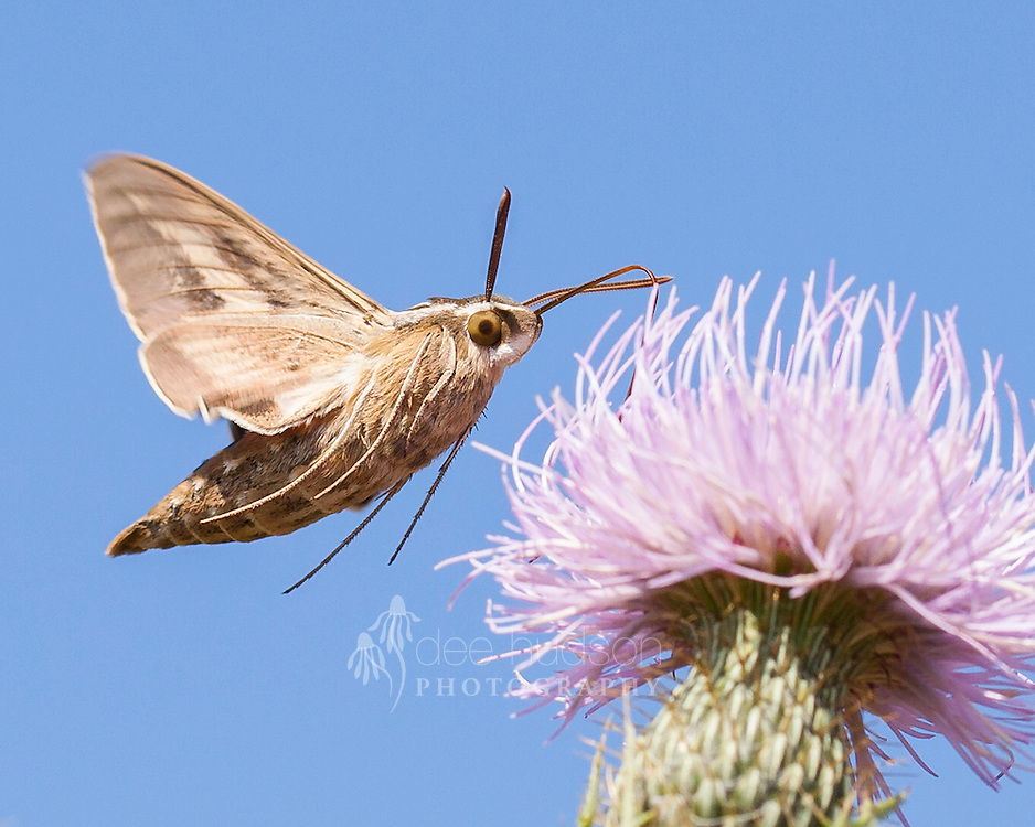 The White–lined Sphinx moth sips from a thistle.<br /> <br /> White–lined Sphinx moth (Hyles lineata)