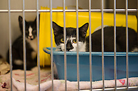 A pair of domestic shorthair kittens available for adoption peer inquisitively from their cage at the NH Humane Society on Monday morning.    (Karen Bobotas/for the Laconia Daily Sun)