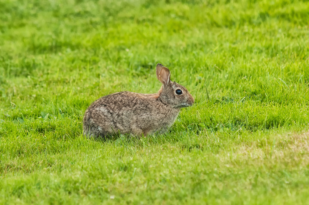 This eastern cottontail rabbit seen here in western Washington is a non-native animal, introduced from the eastern states in the 1930's as a game animal, where it has since florished.