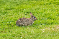 This eastern cottontail rabbit seen here in western Washington is a non-native animal, introduced from the eastern states in the 1930's as a game animal, where it has since flourished.
