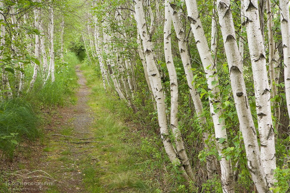 Paper birch trees, Betula papyrifera, on the Jessup Path in Maine's Acadia National Park.