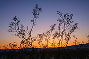 Creosote bush silhouetted by sunset at Kelso Dunes, Mojave National Preserve, near the town of Baker, in San Bernardino County, California, USA.