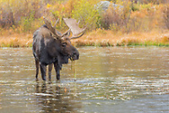 Bull Moose standing in the lake eating grass while it is raining