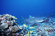 Indo-Pacific lemon shark or sicklefin lemon shark, Negaprion acutidens, with remora, swims over coral reef, Moorea, French Polynesia ( South Pacific Ocean )
