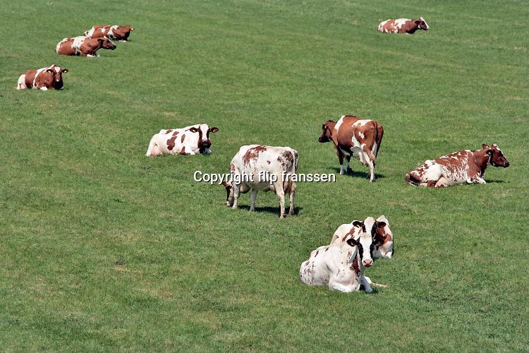 Nederland, Andelst, 26-5-2020 Koeien, in de wei bij het dorp Andelst in de betuwe .. Foto: Flip Franssen