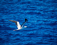 Masked Booby. Viewed from the deck of the MV World Odyssey. Image taken with a Nikon 1 V3 camera and 70-300 mm VR lens (ISO 360, 168 mm, f/5.3 1/1000 sec).