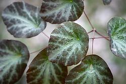 The foliage of Thalictrum ichangense