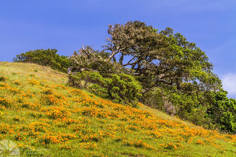 Poppy on the hills on the Old Coast Road, Big Sur, California