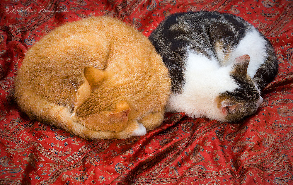 2 beautiful cats sleep on a red matraze