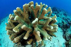 Acropora palifera, Blasse Geweihkoralle, Staghorn coral, Catch bowl coral, Pemuteran, Bali, Indonesien, Asien, Indopazifik, Indonesia, Indo-Pacific Ocean, Asia