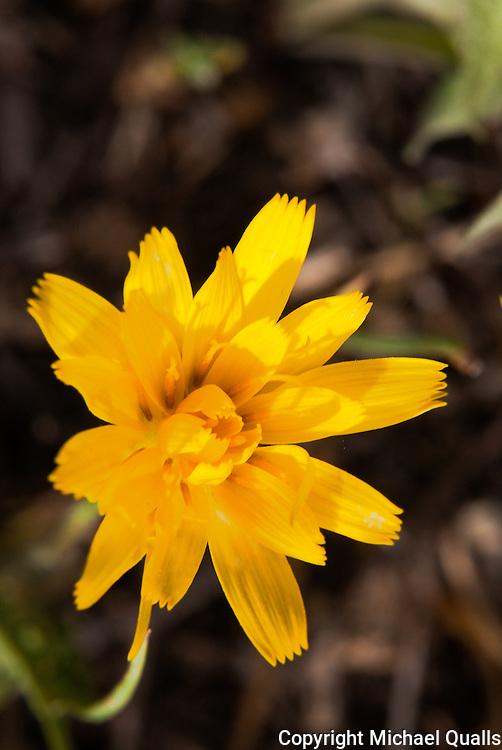 Arnica blossom.  Big Pine Creek.  California.  USA