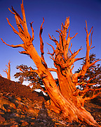 Ancient Bristlecone Pine with Sunrise Glow, The White Mountains, California