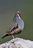 Mountain Quail - Oreortyx pictus - male