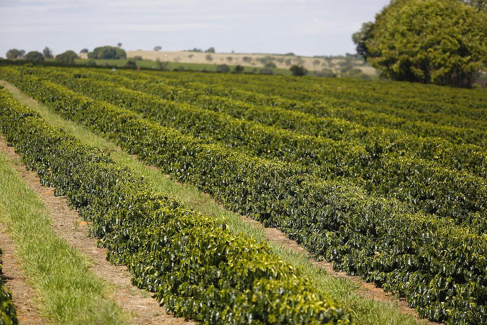 Patrocinio_MG, Brasil.<br /> <br /> Cultivo de cafe em Patrocinio, Minas Gerais.<br /> <br /> Coffee cultivation in Patrocinio, Minas Gerais.<br /> <br /> Foto: LEO DRUMOND / NITRO