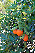 Israel, Sharon district, Citrus Grove clementine close-up of the ripe fruit on a tree