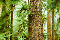 Hoh River Rain Forest. Olympic National Park, WA