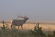 Bull elk during late summer in Wyoming