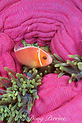 pink anemonefish, Amphiprion perideraion, among venomous tentacles of magnificent sea anemone, Heteractis magnifica, Palau  (Belau ), Micronesia ( Western Pacific Ocean )