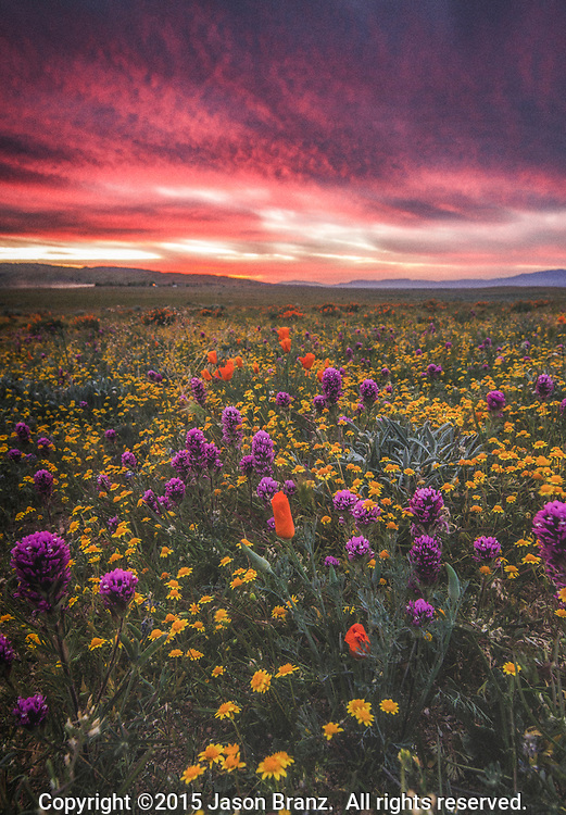 Large variety of spring wildflowers at sunset, Antelope Valley, California.