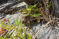 Zeestreepvaren, Asplenium marinum