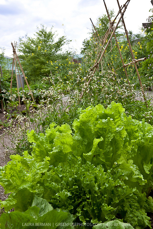 Vegetables growing in a kitchen garden.