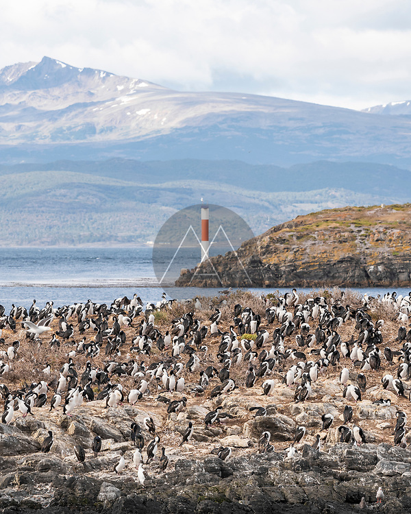 View of a large flock of Cormorant on the rocks near the Ushuaia international airport, Tierra del Fuego, Patagonia, Argentina.