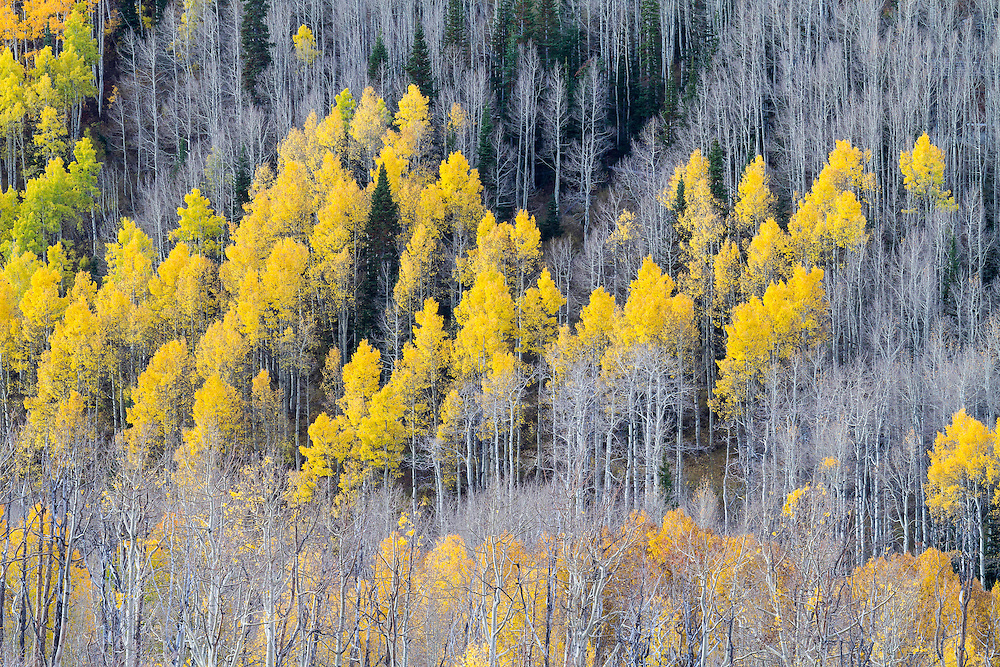 The last remaining Fall colors of aspen leaves.