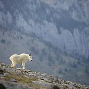 Mountain Goat (Oreamnos americanus) adult in the Bridger Mountains in southwest Montana.
