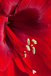 Amaryllis 'Red Pearl'