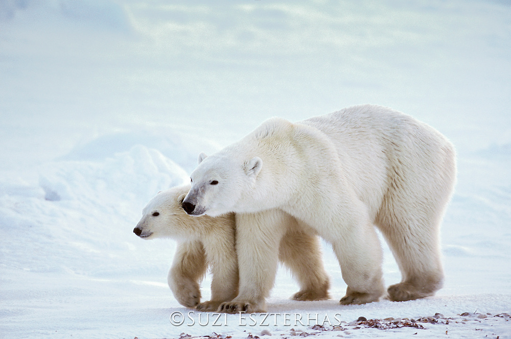 Polar Bear<br /> Ursus maritimus<br /> Wapusk National Park, Manitoba, Canada