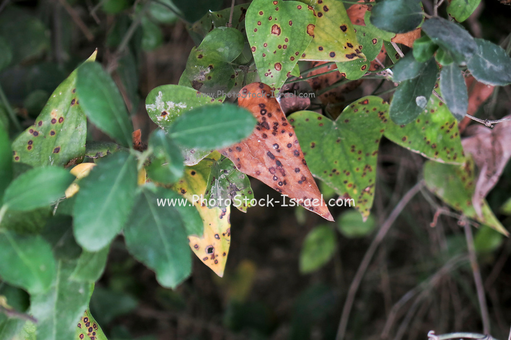 rust marks of a leaf of a tree. These markings are caused by scale insects of the family Coccidae