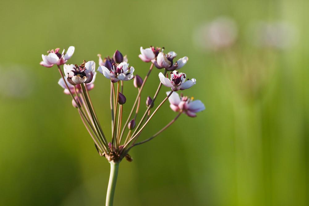 Flowering Rush, Butomus umbellatus, Backwater of Latorica River, Eastern Slovakia, Europe, Doldige Schwanenblume, Butomus umbellatus, Latorica Altwasser, Slowakei, Europa
