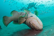 A Goliath Grouper, Epinephelus itajara, rolls over and scratches its nose next to the Mispah shipwreck offshore Singer Island, Florida, United States. Fish with spawning coloration.