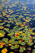 Fragrant water lily pads begin to take on golden autumn color as they float on Lake Sammamish in Marymoor Park, Redmond, Washington.