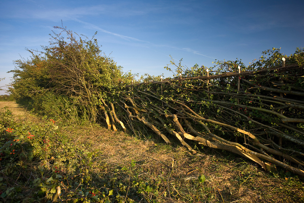Hawthorn hedge crafted in traditional woven hedge-laying style in Gloucestershire, England, United Kingdom