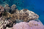 Flowery cod or brown marbled grouper (Epinephelus fuscoguttatus) on tropical coral reef - Agincourt Reef, Great Barrier Reef, Queensland, Australia. <br />
