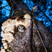 Pictured here is a pair of a Japanese dwarf flying squirrel (Pteromys volans orii), one peeking out from the nest, and another perched on a branch above. These squirrels are preparing for a night of foraging, having emerged shortly after sunset. Known locally as ezo-momonga, this sub-species is a  sub-species of Siberian flying squirrel and is found only in Hokkaido, Japan. It is primarily nocturnal. Mature females measure up to 15cm, males up to 18cm (not including tail). These animals weigh up to 120g and are capable of gliding considerable distances. During flight, they use their patagia (membranes of skin between their forelimbs and hind limbs) and tails (10-12cm) to achieve lift, directional control and maneuvering capability. One study in Japan recorded a maximum glide distance exceeding 49m, though most flights fell into the 10m to 20m range.