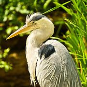 Portrait of a heron.